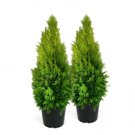 Vakarinė Tuja – Smaragd (Thuja occidentalis)