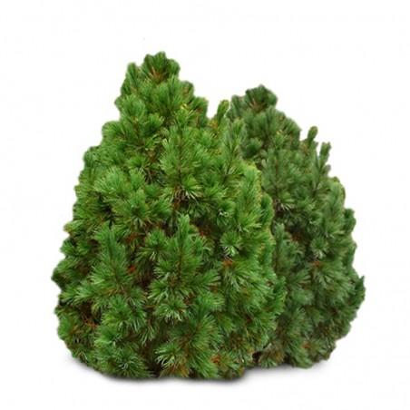 Kedrinė pušis (Pinus cembra) – 130cm