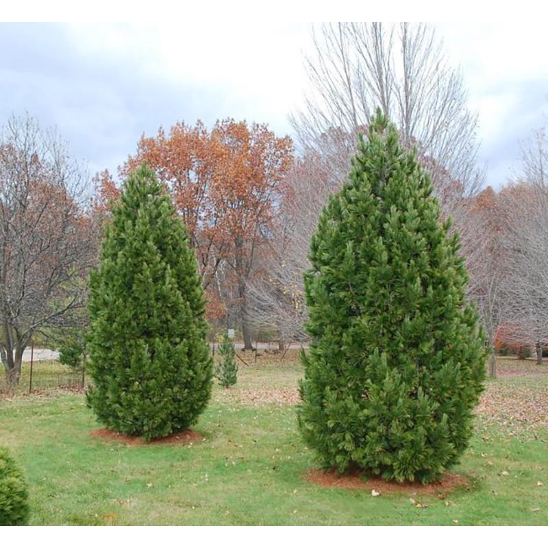 Kedrinė pušis Sodinukai (Pinus cembra) – 130cm