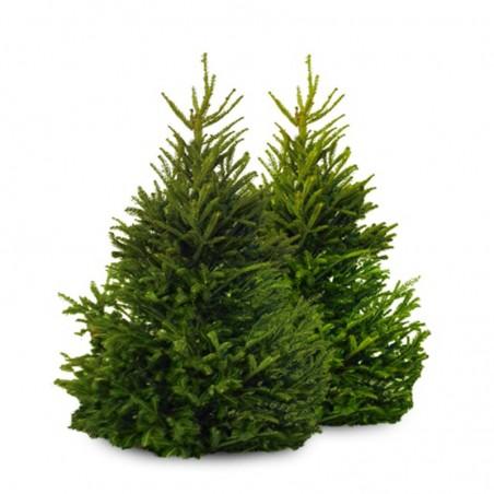 Kanadinė Eglutė (Picea glauca conica) – 25cm