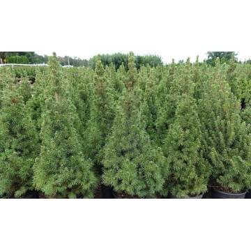 Kanadinė Eglutė Sodinukai (Picea glauca conica)