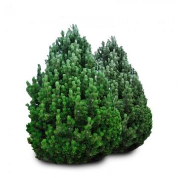 Pušis juodoji – Pyramidalis (Pinus nigra)