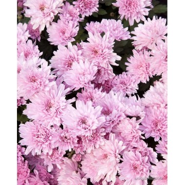 Chrizantema (Chrysantemum) Medelynas