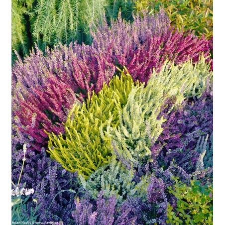 Šilinis viržis - (Calluna vulgaris) įvairių spalvų