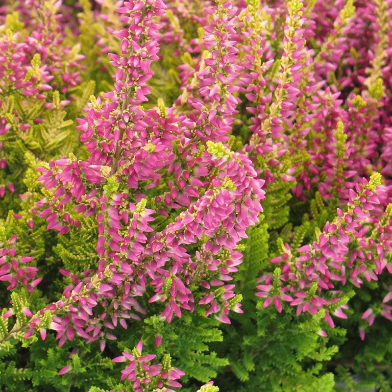 Šilinis viržis - (Calluna vulgaris) įvairių spalvų medelynas