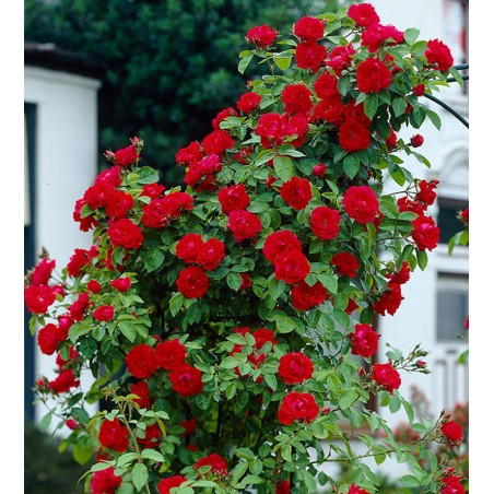 Vijoklinės rožės – Vamd