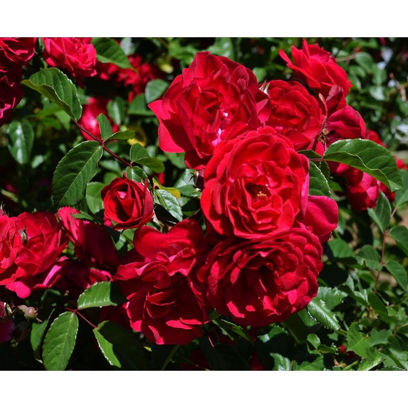 Vijoklinės rožės Vamd Medelynas