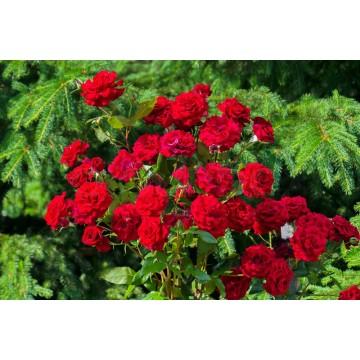 Vijoklinės rožės Vamd