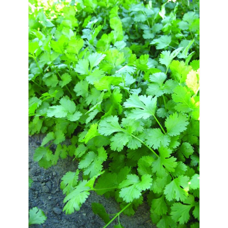 Lygialapės lapinės petražolės Titan Daigai Sodinukai