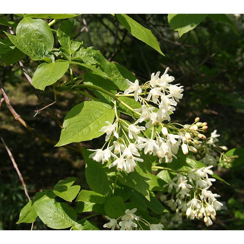 Lekėčius kolchidinis Sodinukas (Staphylea colchica Steven)