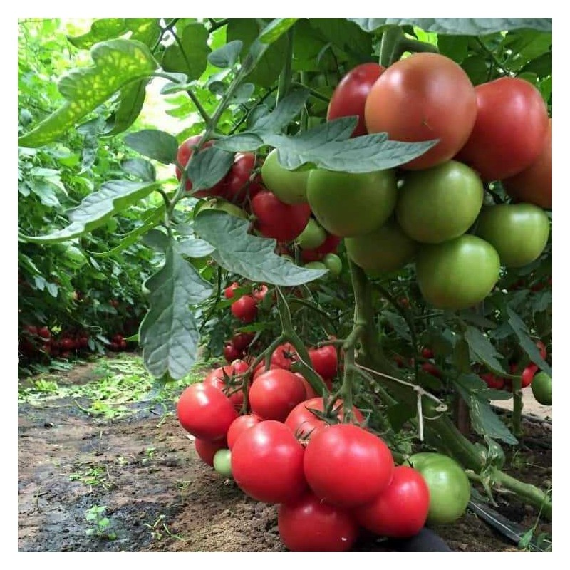 Pomidoru daigai Esmira F1 - Pomidorai Esmira F1