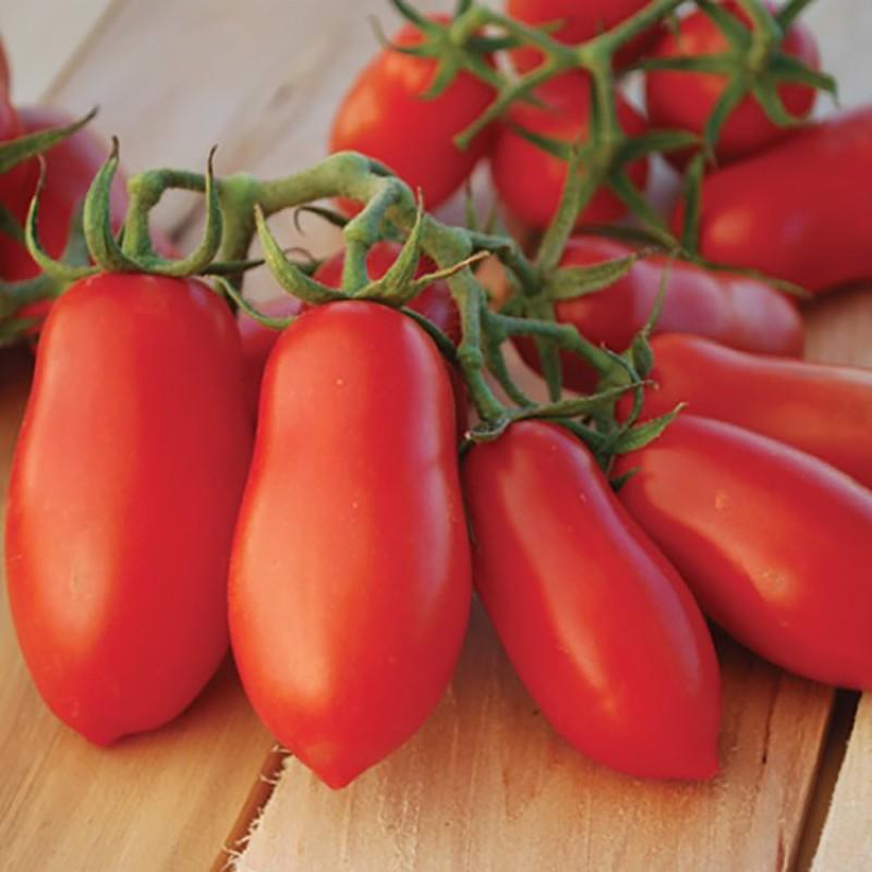 Pomidorai Giulietta F1 - Pomidoru daigai Giulietta F1